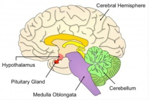 Photo of the Pituitary Gland